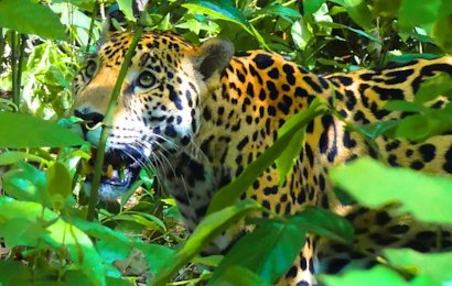 The Osa Expolorer is an incredible safari that will take you to the wilds of Corcovado National Park, which is known as one of the wildest places on the planet! This amazing nature tour includes great hotels, excellent tours and most meals.
