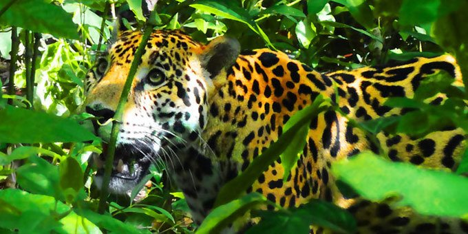 Jaguar in Costa Rica