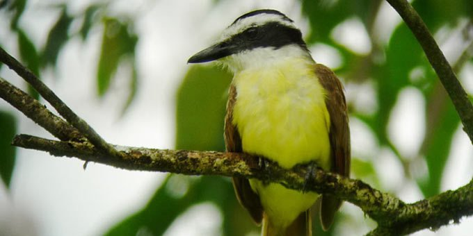 Established in 1985, Penas Blancas Wildlife Refuge was created to protect the tropical evergreen forest of the southern flanks of the Tilaran Mountain Range.