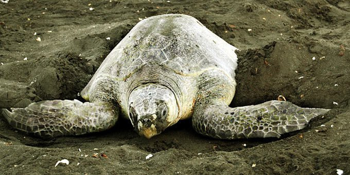 Playa Nancite is most famous for being a beach that receives arribadas by nesting olive ridley turtles.