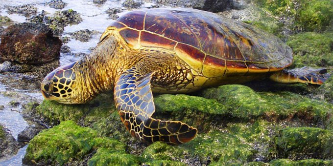 There are five species of Costa Rica sea turtles which we will describe below, but first we'll start off by describing what it is like to...